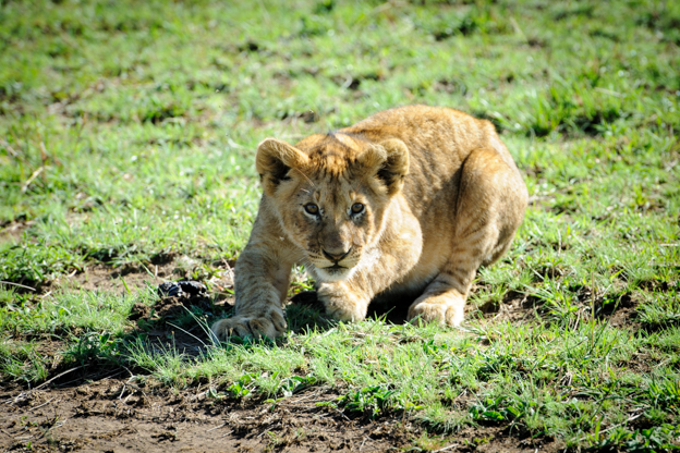 Sneaking baby lion in Maasai Mara