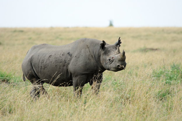 Rhinoceros in Maasai Mara
