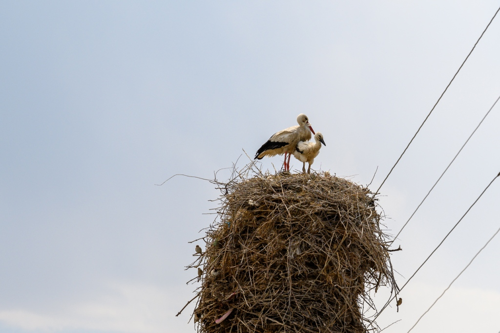 White Stork in Armash, Armenia