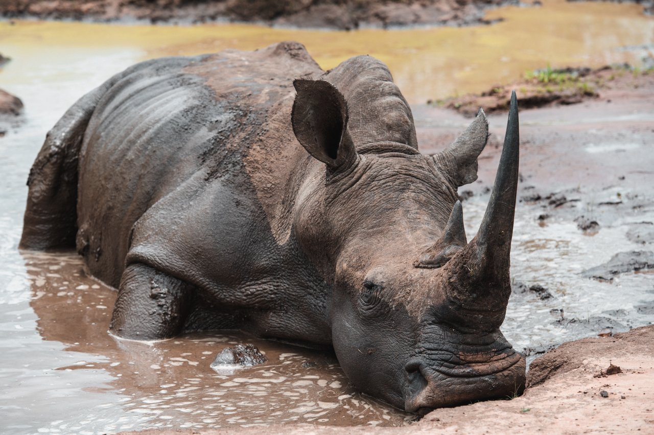 White rhino sleeping in mud
