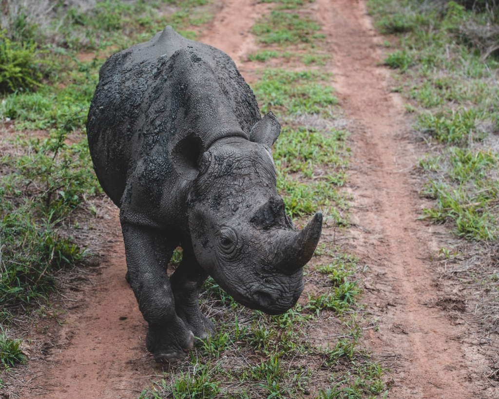 Curious black rhinoceros in Mkhaya