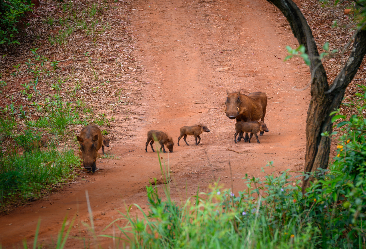 Pumba family in Mlilwane