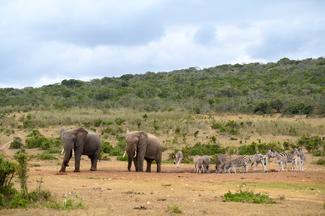 Elephants and zebras at waterhole in Addo National Park