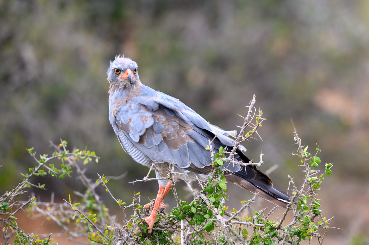 Goshawk in Addo