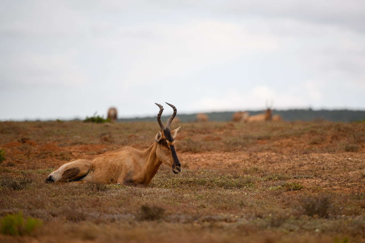 Hartebeest at Addo National Park