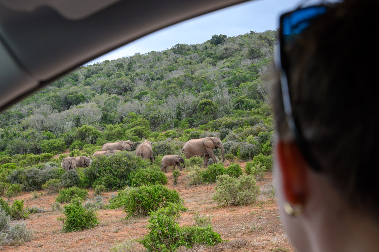 Self-drive safari in Addo. Watching elephants from the car.